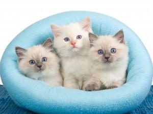 3 kattekillinger i kurv